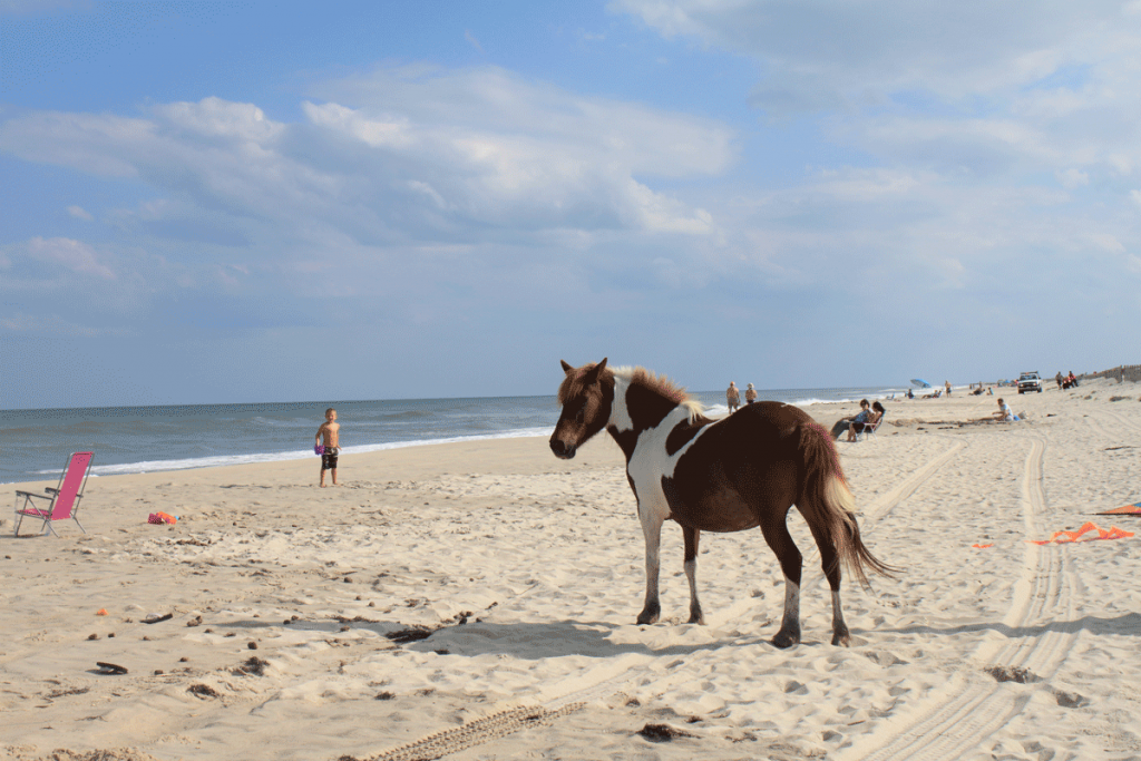 Assateague Island Wild Pony