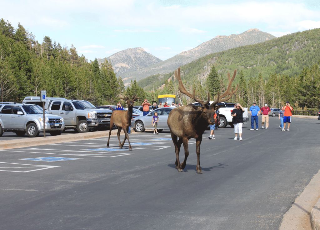 Elk roam freely in Estes Park