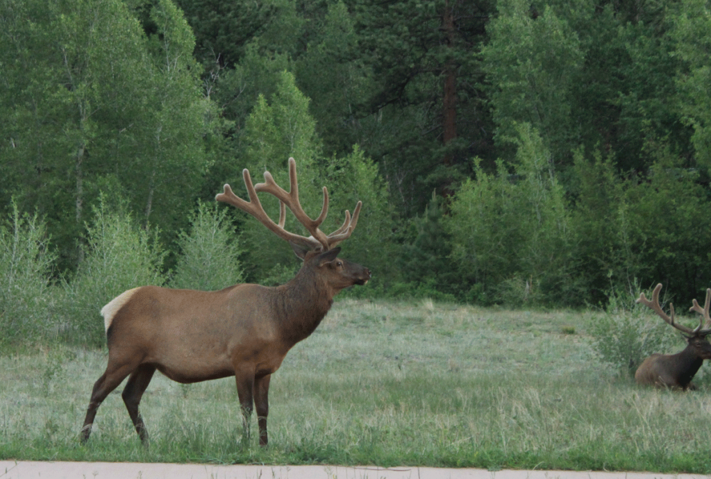 Elk roam freely on the east side of Rocky Mountain National Park